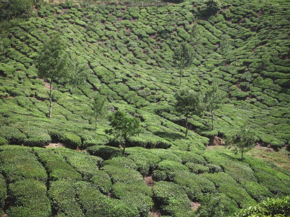 champ de thé munnar
