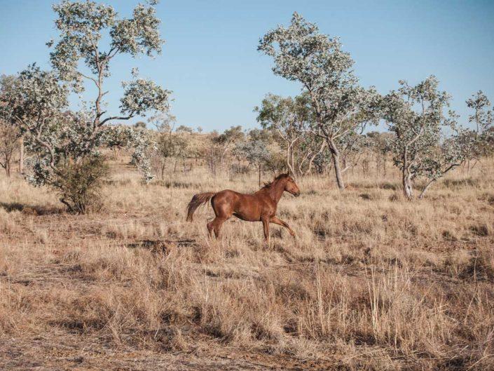 cheval australie