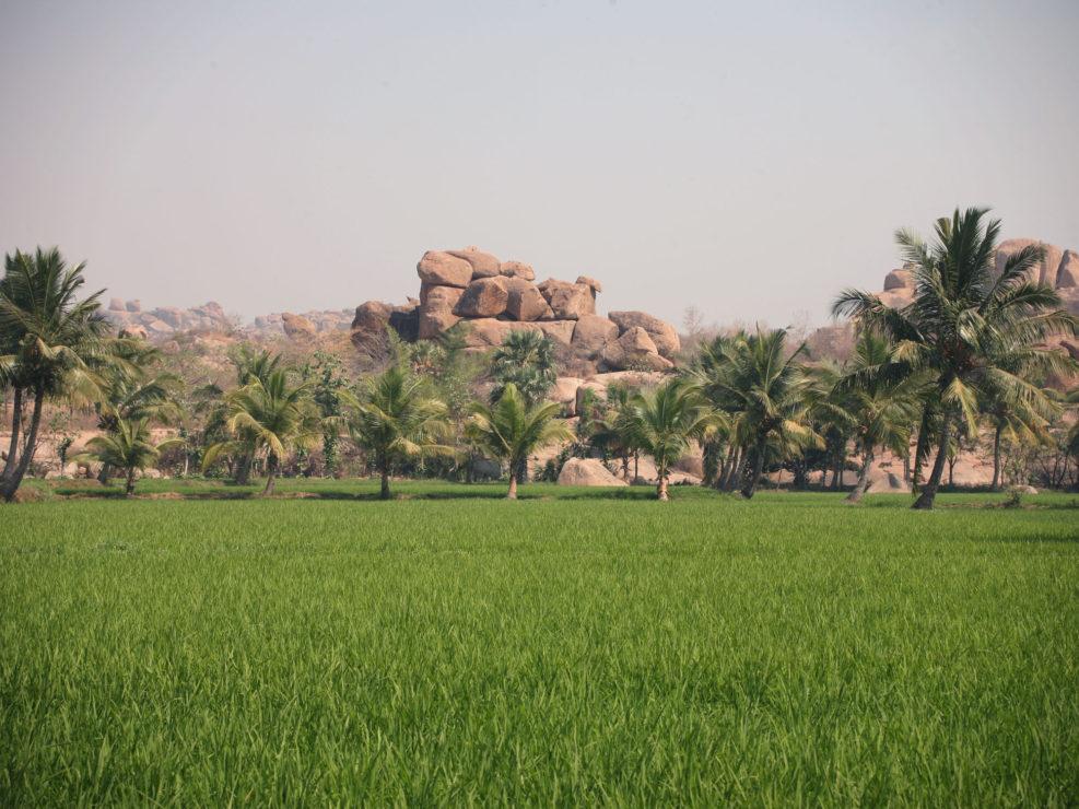 Les rizières d'Hampi