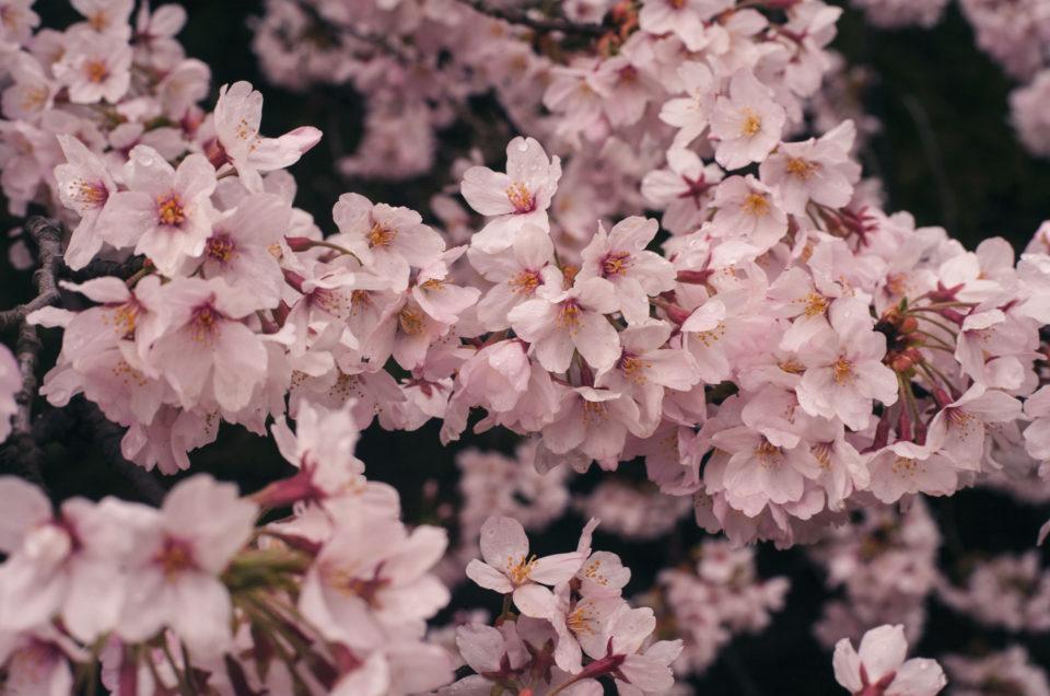 Tokyo au printemps | Une ode aux Sakuras en fleurs