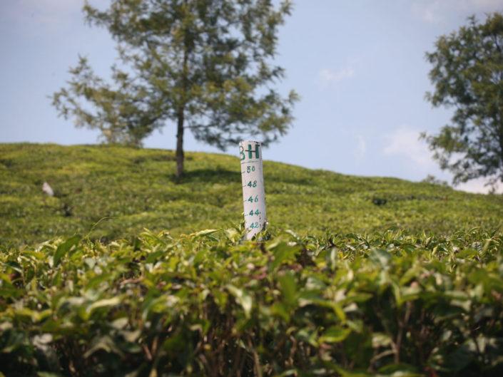 Mesurer la pousse du thé