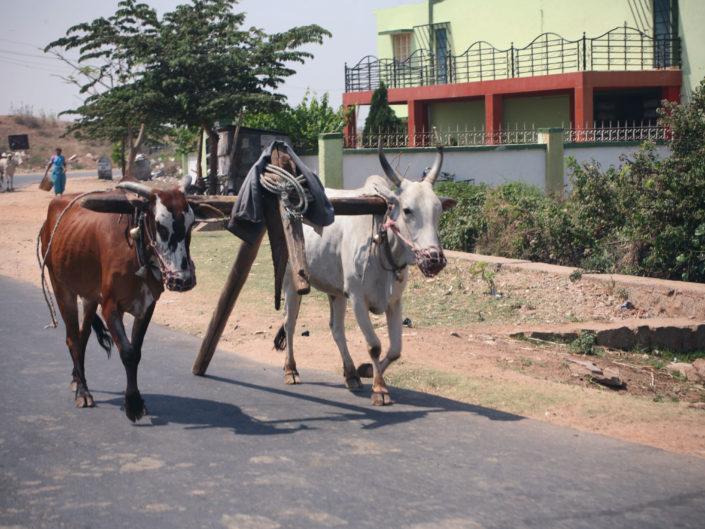 Vaches indiennes sur la route