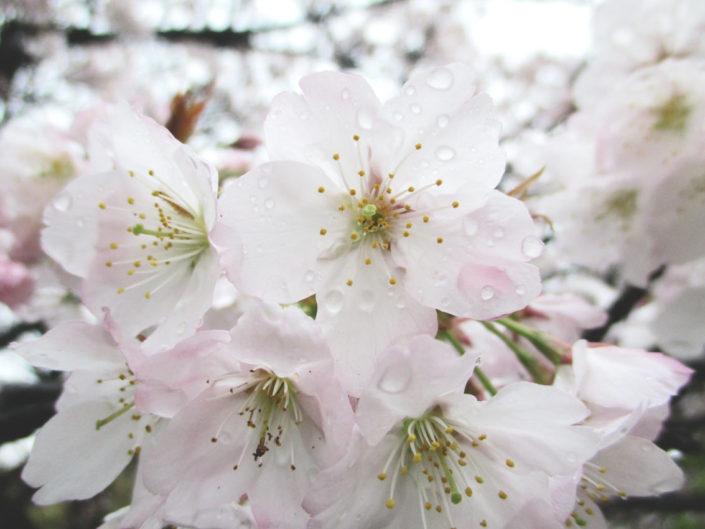 sakura flower tokyo