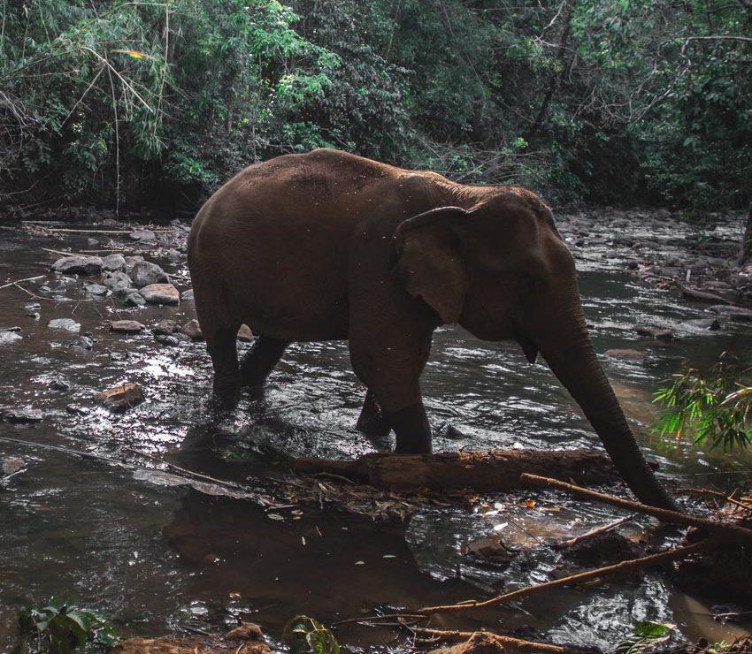 éléphant au cambodge