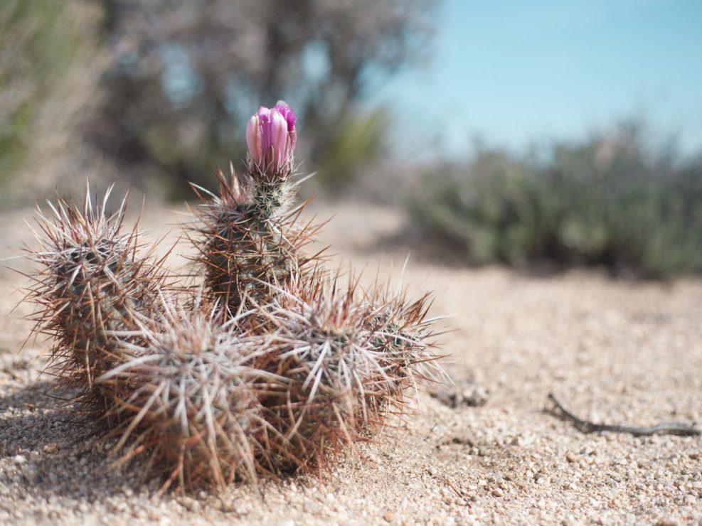 cactus joshua tree